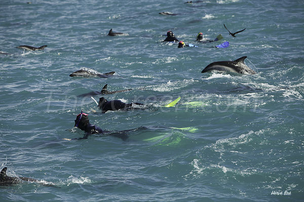 Snorkeling with dolphins in Kaikoura