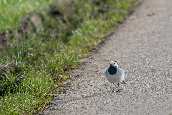 Wagtail on the roadside