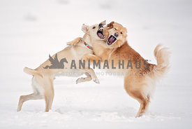 Two dog wrestling and playing