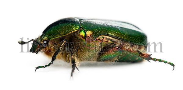 Rose chafer, Cetonia aurata, in front of white background