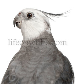 Close-up of Male Cockatiel, Nymphicus hollandicus, in front of white background