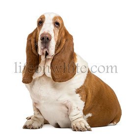 Basset Hound sitting and looking at the camera, isolated on white