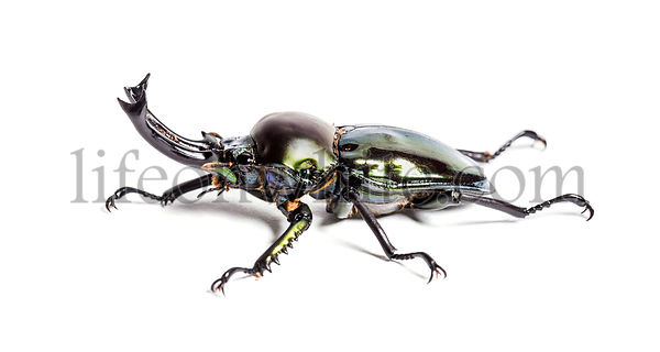 Rainbow stag beetle, Phalacrognathus muelleri, in front of white background