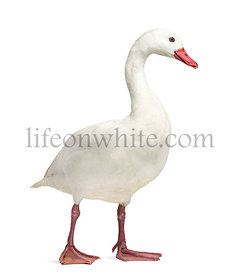 Waterfowl syanding, isolated on white