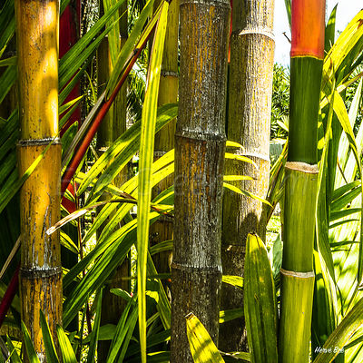 Bamboos forest