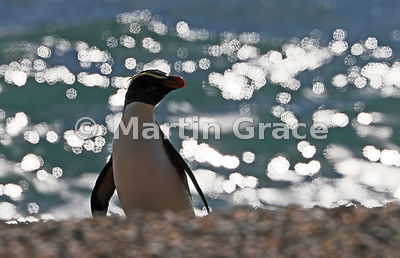 Fiordland Crested Penguin (Eudyptes pachyrhynchus) semi-silhouetted against a sparkling sea, Whakapohai Wildlife Refuge, West...
