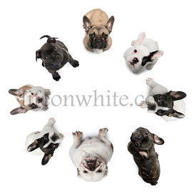 High angle view of french bulldog and Staffordshire Bull Terrier in front of white background