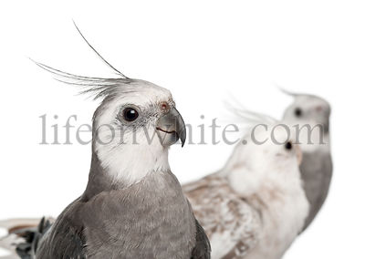 Close-up of Male and female Cockatiel, Nymphicus hollandicus, in front of white background