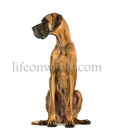 Danish dog sitting against white background