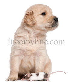 Golden Retriever puppy, 4 weeks old, and a mouse in front of white background