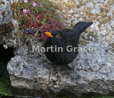 Male Common Blackbird (Turdus merula) on the edge of the garden pond, Lake District National Park, Cumbria, England