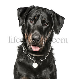 Close-up of Beauceron panting, 16 months old, isolated on white
