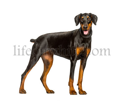 Panting Doberman dog standing against white background