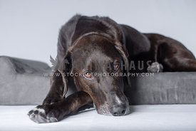close up of dark brown lab hound mix laying on grey dog bed in the studio
