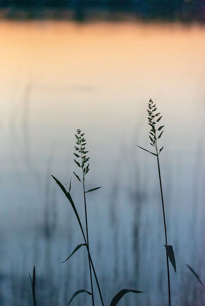 Lakeside grasses at sunset