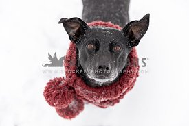 A black mixed breed dog wearing a scarf in winter