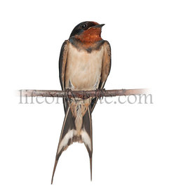 Barn Swallow, Hirundo rustica, perching against white background
