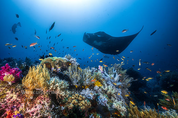 Manta ray and coral reef