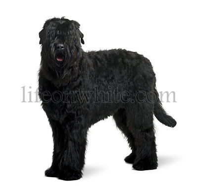 Black Russian Terrier, 15 months old, standing in front of white background