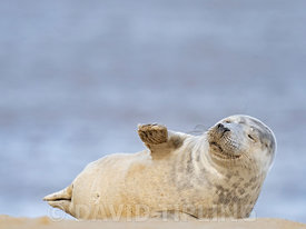 Grey Seal  Halichoerus grypus pup, North Norfolk January
