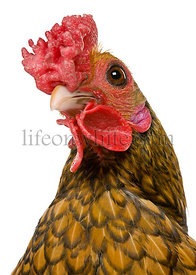 Close-up headshot of Golden Sebright rooster, 1 year old, standing in front of white background