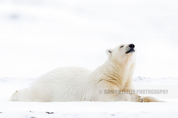 Polar bear cub sniffing the air in Svalbard, Norway