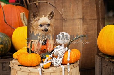Small yorkie in Halloween decor