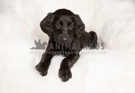 Cute black lab puppy on white blanket