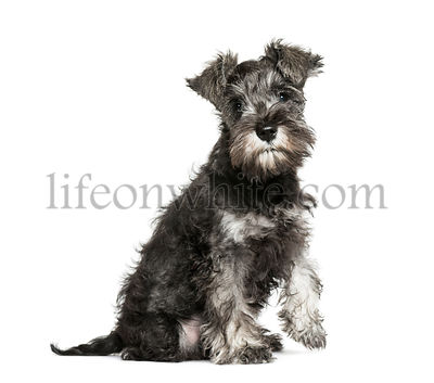 Miniature Schnauzer, 3 months old, sitting in front of white background
