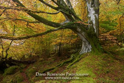 Prints & Stock Image - Old Beech tree in autumn colours, Glen Lyon, Perth and Kinross, Scotland