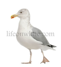 European Herring Gull, Larus argentatus, 4 years old, walking against white background