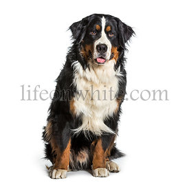 Bernese mountain dog panting against white background