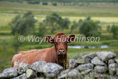 Luing cow looking over an old drystone wall, Elvanfoot, Scotland, UK.