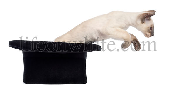 Oriental Shorthair kitten, 9 weeks old, jumping out magician\'s hat, against white background