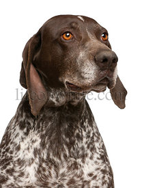 Close-up of German Shorthaired Pointer, in front of white background
