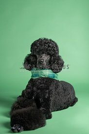 serious looking black poodle in studio with green backdrop