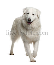 Maremma Sheepdog, 2 Years Old, standing