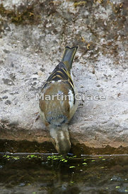 Common Chaffinch female (Fringilla coelebs) drinking from the garden pond, Lake District National Park, Cumbria, England