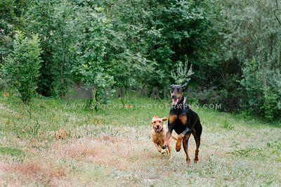 A doberman and young lab run through the grass