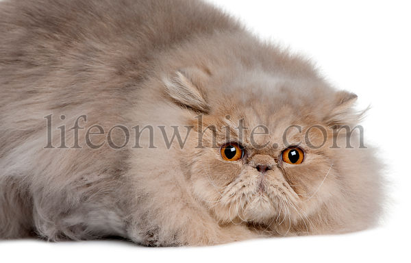 Persian cat, 11 months old, lying in front of white background
