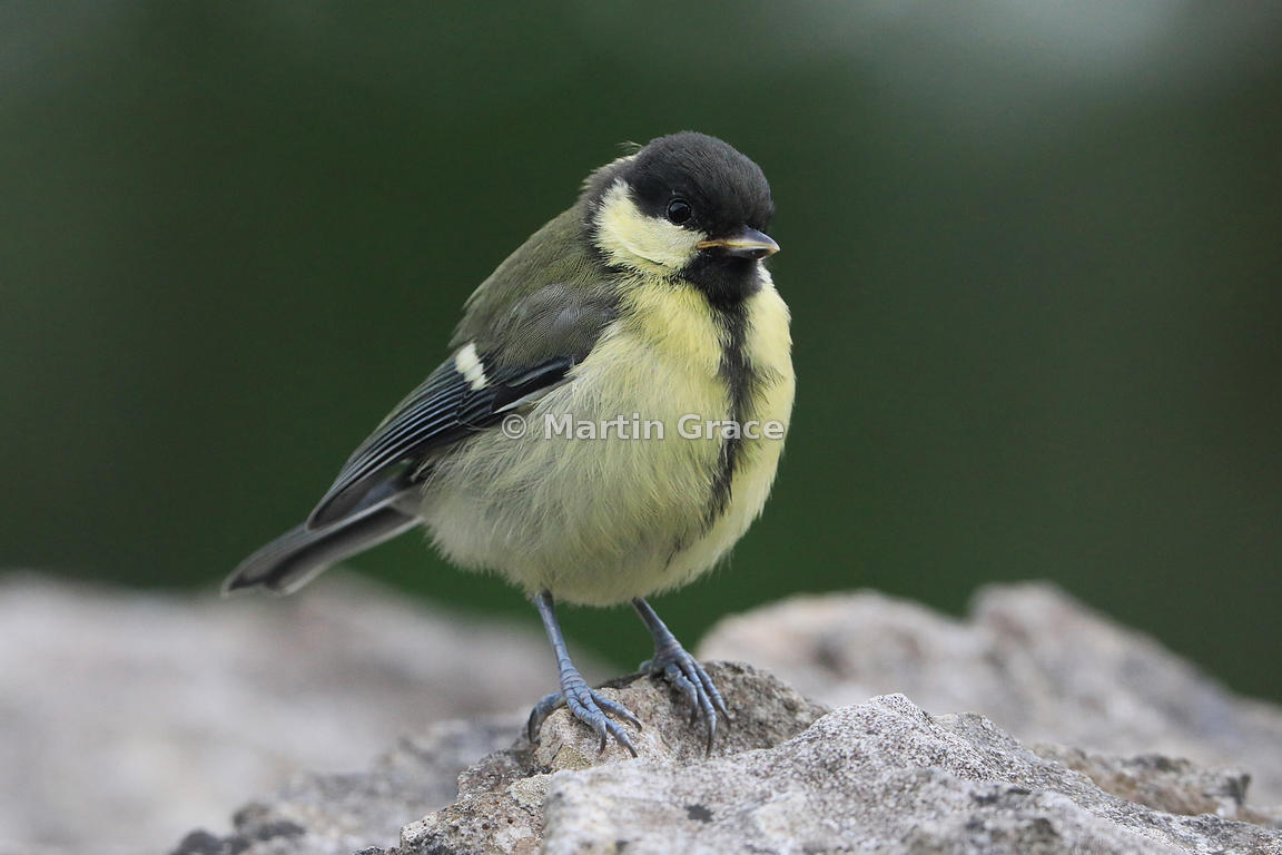 Juvenile Great Tit (Parus major) on an old limestone garden wall, Lake District National Park, Cumbria, England