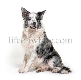 blue eyed blue merle border collie, isolated on white