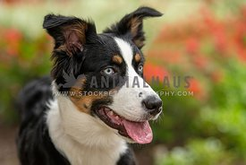 close up of Australian Shepherd in front of red and green plants