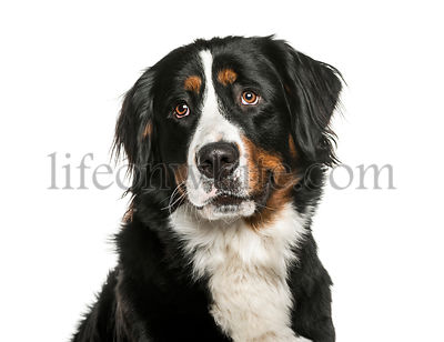 Bernese Mountain Dog in front of white background