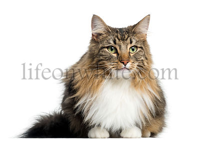 Norwegian Forest Cat, isolated on white
