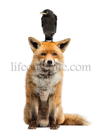 Jackdaw perching on the head of red fox, isolated on white