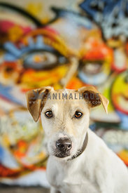 Jack Russell Perrier portrait with colorfoul graffiti