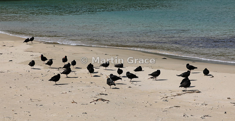 Dark morph Variable Oystercatcher (Black Oystercatcher) (Haematopus unicolor) on Butterfield Beach, Stewart Island, South Isl...