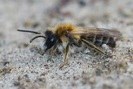 Closeup of a male  Grey-patched mining bee, Andrena nitida, on sandy soil