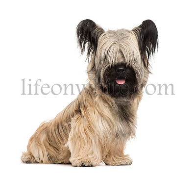 Skye terrier sitting, isolated on white